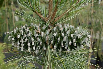 Pinus koreana Morris Blue- for web 8865.