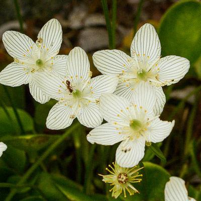 Parnassia grandflora #2-0067 for web .jp