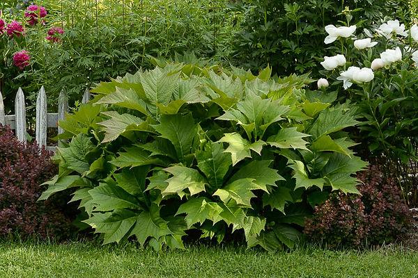 41362 Rodgersia podophylla for web .jpg