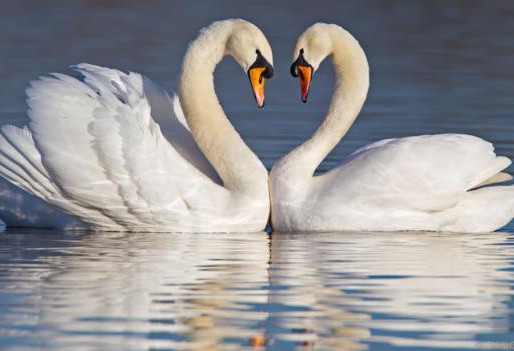 The Swans of A Moment Forever