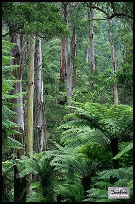 Australian Rainforest.  Tarra Burra National Park