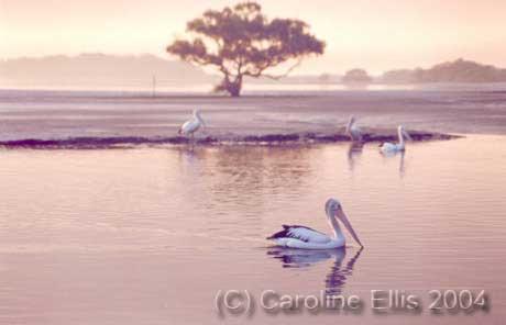 Pink Mist Pelicans