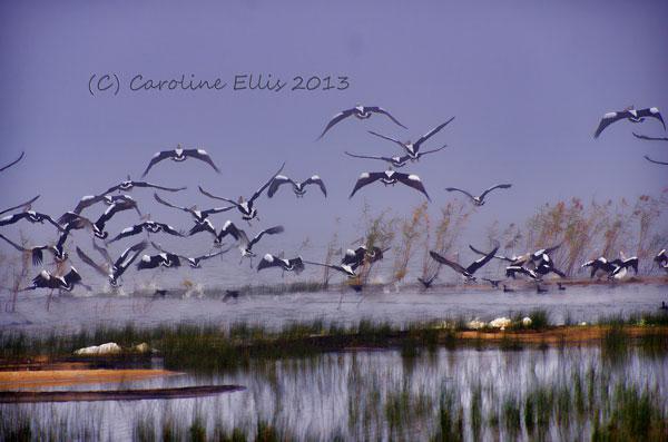 Lake Boga Pelicans IMGP0717
