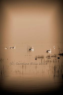 Sepia Pelicans Vert IMGP0785