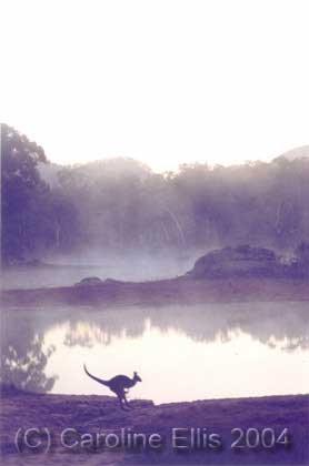Kangaroo: Dunn Swamp Blue Mt. Australia