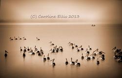 Sepia Pelicans IMGP0803