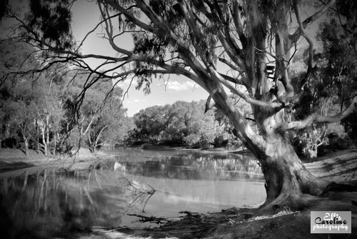 river-oaks-big-tree-vinaigrett-b-w-2