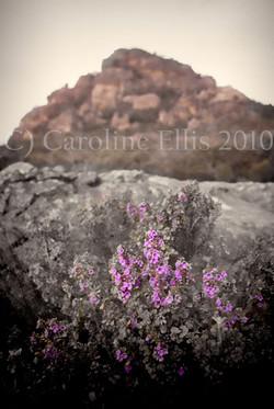 purple-flower Grampians