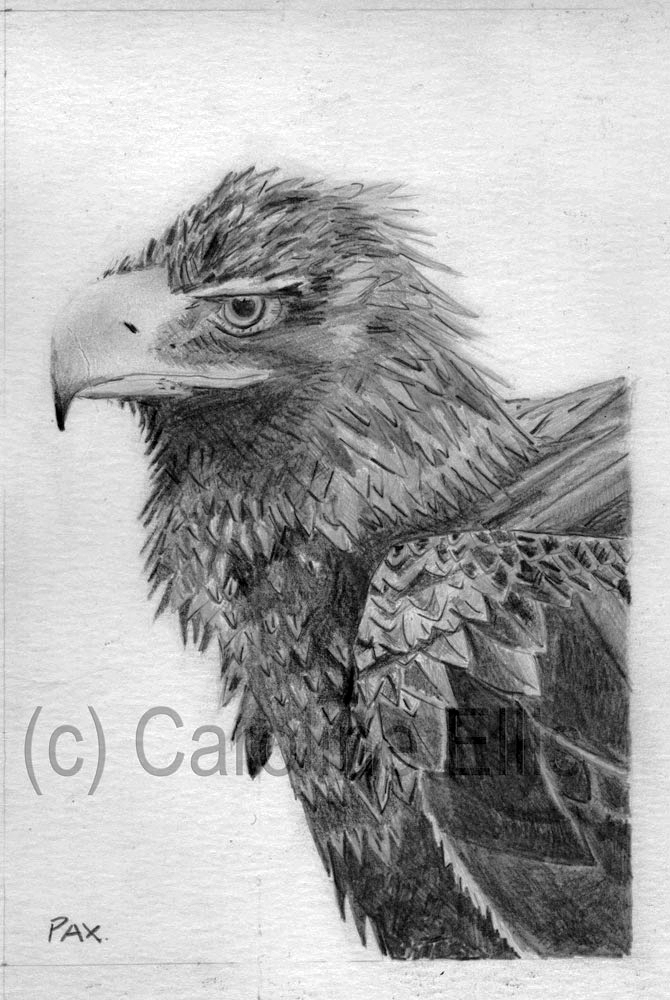 Wedgetail Eagle Study 2