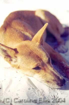 Dingo: Fraser Island National Park Australia
