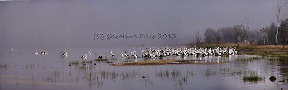 Pelicans in the Mist Colour: Lake Boga Australia
