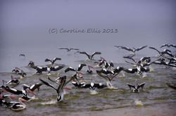 Lake Boga Pelicans IMGP0674
