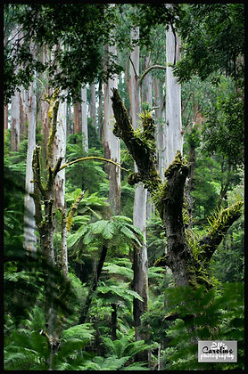 Australian Rainforest 2.  Tarra Burra National