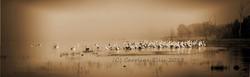pelicans-mist-boga-pan-sepia