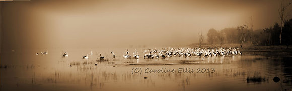 Pelicans in the Mist Sepia: Lake Boga Australia