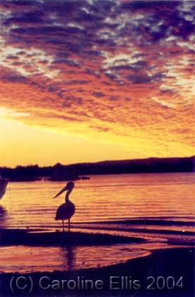 Sunset Pelican: Australia