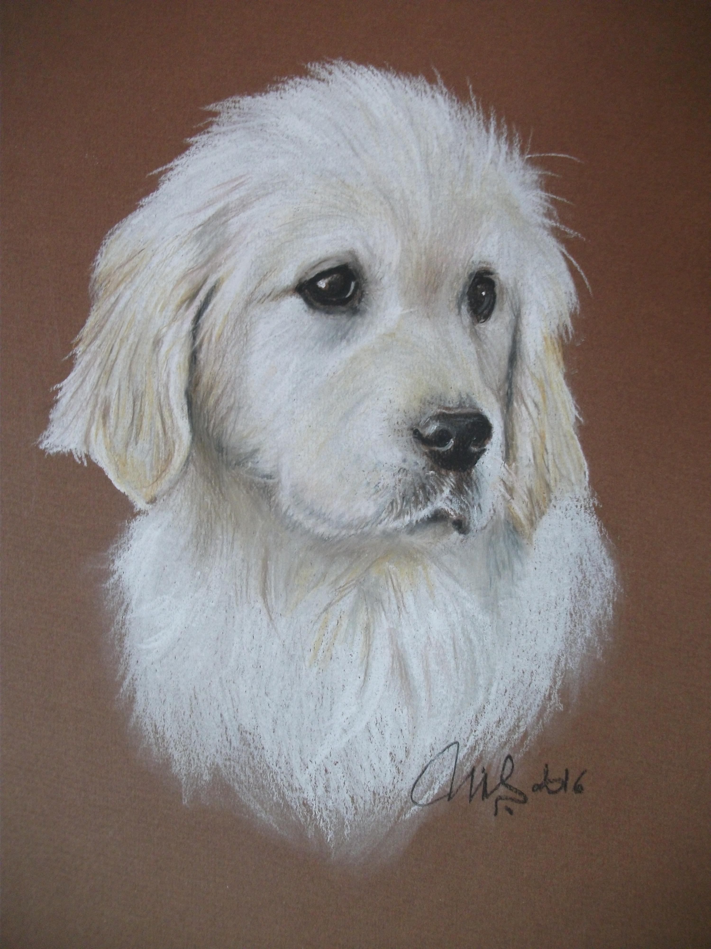 Jeune Labrador