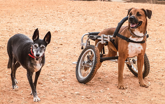 An old dog and a dog in a wheelchair