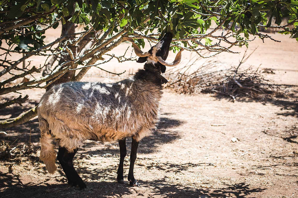 A sheep sniffing a tree in the sun