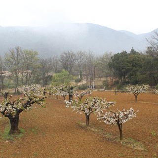 Blossoming cherry trees in the mist of the Luberon from La Jassine, your Provence escape