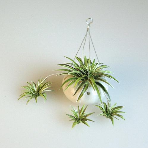 Oh Wow Spider Plant by Arlene Finkelstein