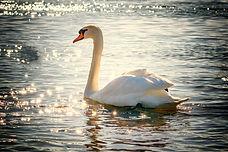 swan-2077219_1920.jpg