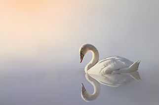 swan-3161142_1280.jpg