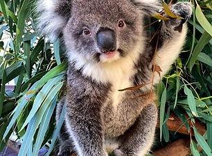 ssp-1143-koala.jpg