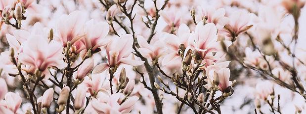 magnolia-tree-during-springtime-XF8S4M2.