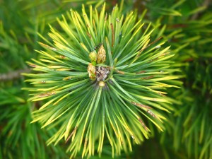 The scent of pine helps us stay alert.