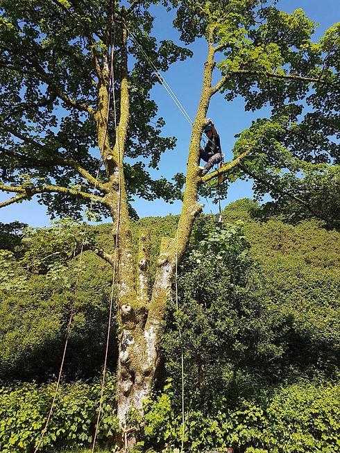 Tree Surgeon Climbing Tree.jpeg