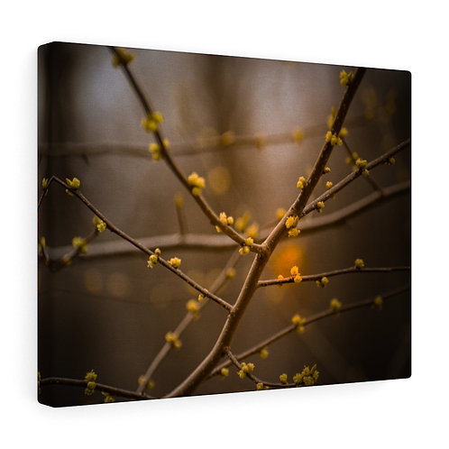 Blooming in the Setting Sun Canvas