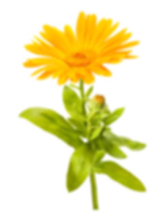 calendula properties and benefits, greenwash