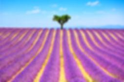 essential oil Lavender field, yourlavidaessentials.com