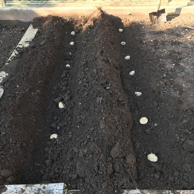 Potato Planting hoping for a good harvest :)