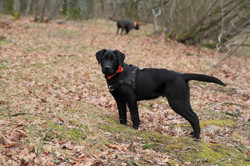 Lasso (Labrador)