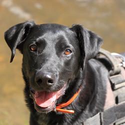Spike (Labrador)