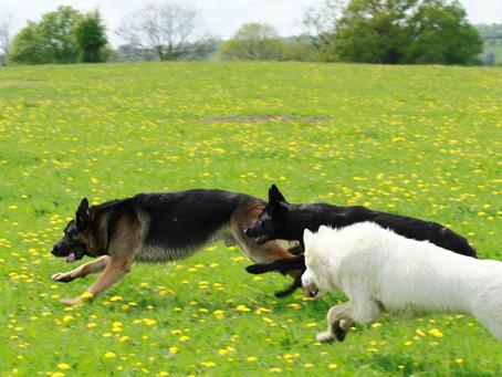 Classement desraces de chiens