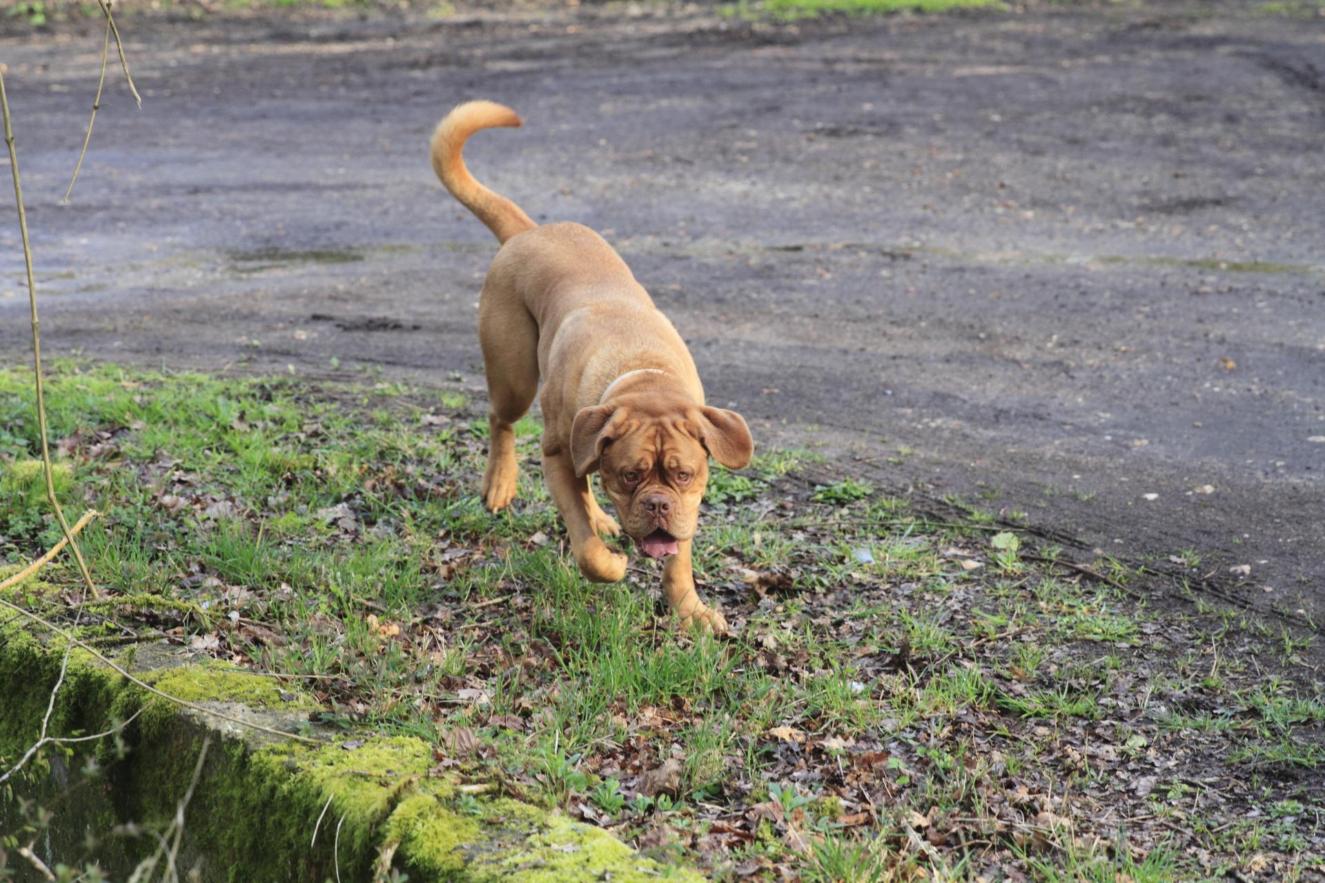 Joyce (Dogue de Bordeaux)
