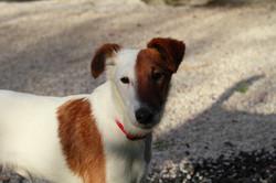 Max Fox Terrier