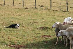 Démo mouton