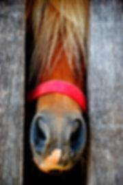 Mini horse stallion in red halter lookin