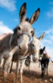 Donkeys for riding tourists, Bedouin par