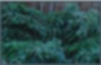 branches de fraser fir