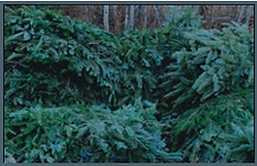 Fraser Fir brush and branches