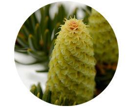 A fir-cone