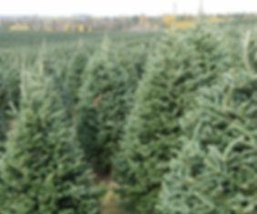 Plantation de Sapin de Noël Fraser