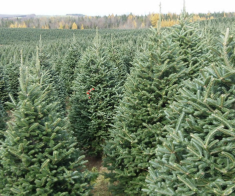 Fraser Fir Christmas Tree Farm