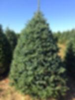 Cook Fir Christmas Tree