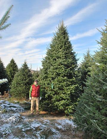 A big Balsam Fir Christmas Tree with Antoine Plouffe